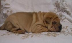 D Chinese Shar-Pei Puppies with lovely Behaviors