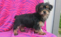 ..Dahsli Full breed yorkie pups