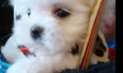 dbvfdh maltese puppies for sale