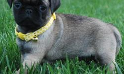 dddf pug puppies for sale