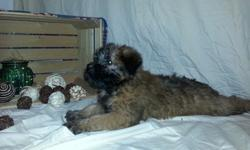 deaskrasew Soft Coated Wheaten Terrier Puppies For Sale