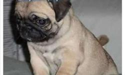 DEC & JAN Sweet Adorable AKC Champion Lines PUG Puppies WAIT