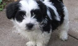 dfdfgdfg Two Lovely Havanese puppies available. 11 weeks old