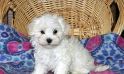 dfgdgdfg Cute and adorable Maltese Puppies For Sale