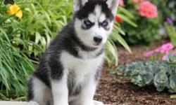 dfjgfjytGorgeous akc registered siberian huskie puppies