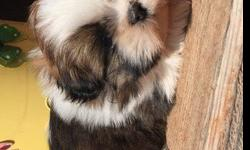 dgszsd flowing boys and girls Shih Tzu Puppies for Sale