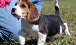 dhfhngfn Pedigree Female/male Beagle Puppies