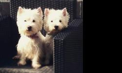 dhgh west highland terrier puppies for sale
