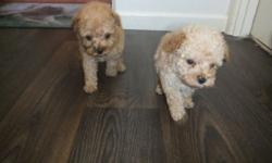 DHJHSFDS Adorable Toy Poodle's