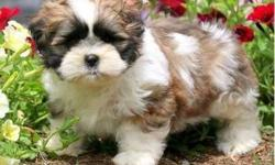 diplomatic Male and Female Shih Tzus Puppies For Sale