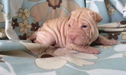 Divine Chinese Shar-Pei Puppies Ready To Go
