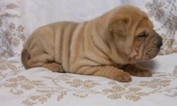 Doro Mega Chinese Shar-Pei Puppies