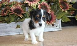 dvdv Minature Jack Russell puppies ready now
