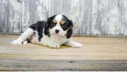 Dyrai Cavelier King Charles puppy now for sale