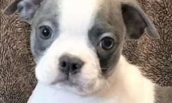 Eight Grateful M/F Boston Terrier Puppies For Sale