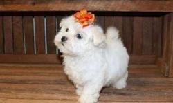 Elevating * Akc Maltese Puppies