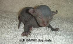 Elf Sphynx Blue Baby Boy Kitten