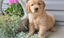 Emi Stunning Golden Retriever Puppies