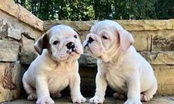 Endearing* Akc English Bulldog Puppies
