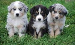 Endearing Male and Female Australian Shepherd Puppies