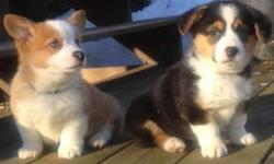 Endearing Male and Female Pembroke Welsh Corgi Puppies