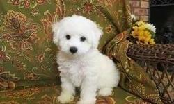 Energetic Male and Female Bichon Frise Puppies Available