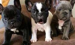 Energetic Male and Female French Bulldog Puppies Available