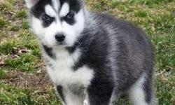 Energetic Male and Female Siberian Husky Puppies Available
