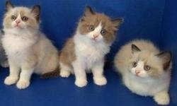 Engaging M/F Ragdoll Kittens For Sale