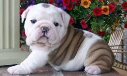 English Bulldog Puppies -Gifted Babies