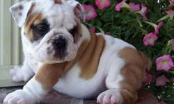 English Bulldog Puppies -Dazzling NEW