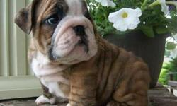 English Bulldog Puppies -Amazing NEW