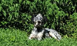 English Setter Puppies - Due 12/29/18
