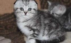 Enhanced M/F Scottish Fold kittens For Sale