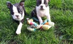 enhanced Male and Female Boston Terrier Puppies