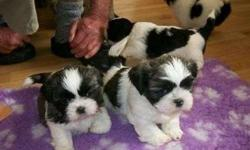 Enhanced Male and Female Shih Tzus Puppies Available