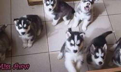 Enhanced Male and Female Siberian Husky Puppies Available
