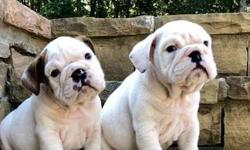 Enjoyable* Akc English Bulldog Puppies
