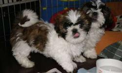 Enjoyable Male and Female Shih Tzus Puppies Available