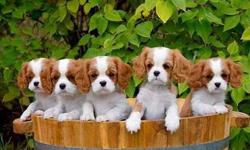Enthralling Rare Working Lines Super Litter AKC Cavalier