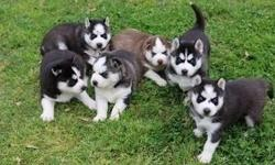 enthusiastic Male and Female Siberian Husky Puppies For Sale