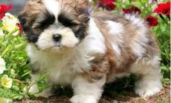 enthusiastic Male/ Female Shih Tzus Puppies For Sale