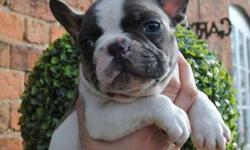 Ethica Trained French Bulldog Puppies