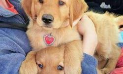 Ethical M/F Golden Retriever Puppies For Sale