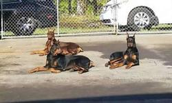 European Doberman puppies coming soon