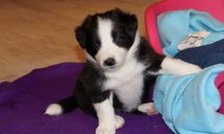 excel at about everything Border Collie puppies for sale