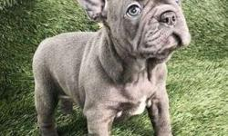 excellent1 Male and Female French Bulldog Puppies For Sale