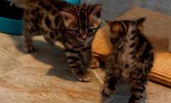 Excellent Bengal Kittens for sale