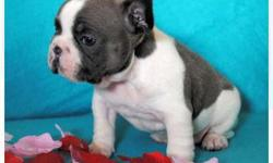 Excellent Litter French Bulldog Puppies