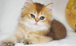 Extremely adorable British Longhair Golden Kitten